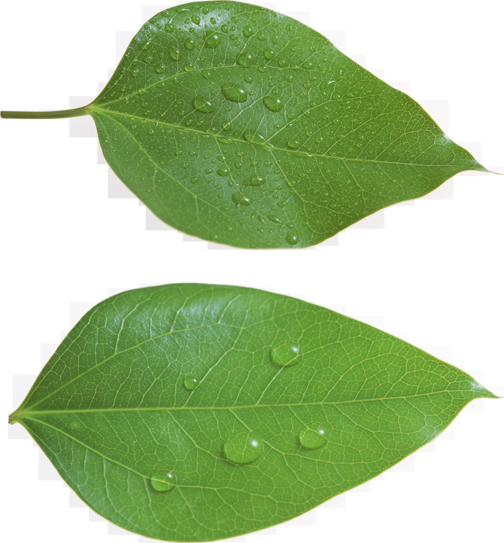 Green Leaf PNG Leaves Pinterest