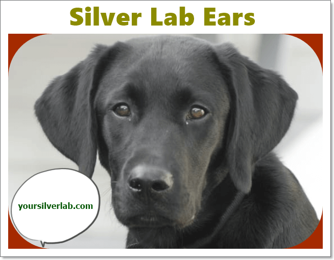 Silver Lab Puppies For Sale In Alabama Under 500 Might Be Difficult However We Have Researched Some Of The Best P In 2020 Silver Lab Puppies Lab Puppies Silver Labs