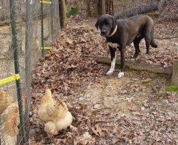 How To Train A Dog To Protect Backyard Chickens Dog Training