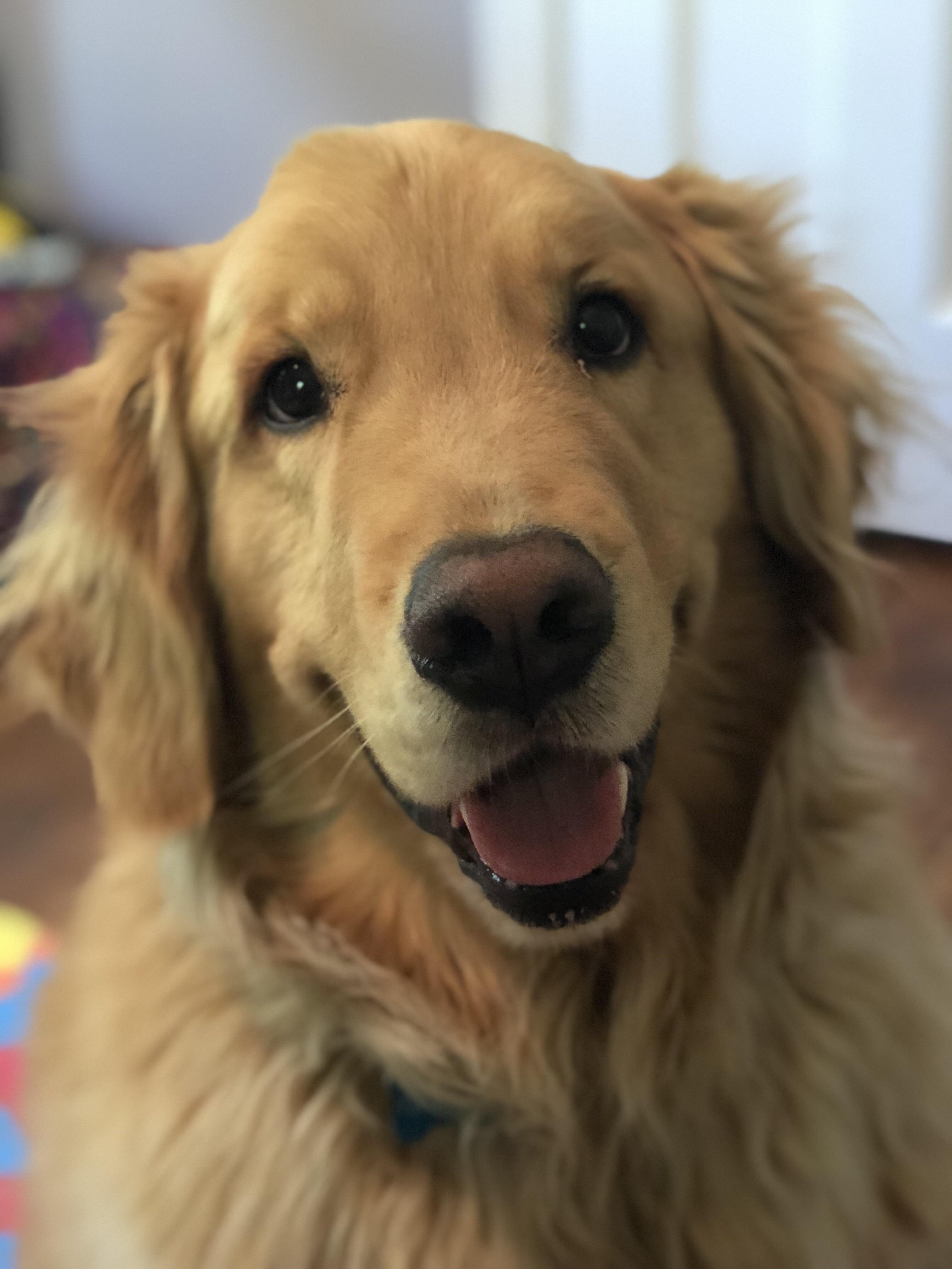 Graham The Goodest Boy Dogs Golden Retriever Retriever Puppy Golden Retriever