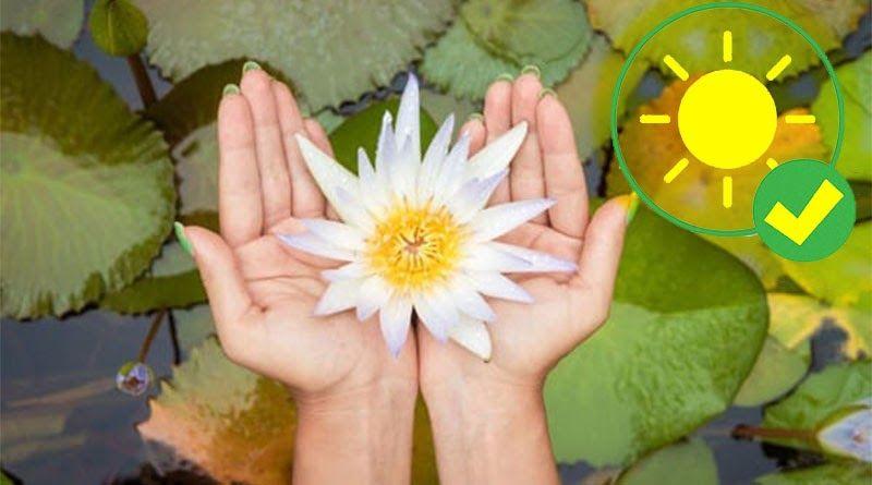 20 Gambar Bunga Teratai Yg Besar Cara Menanam Bunga Teratai Yang Benar Kutanam Download Peluang Usaha Budidaya Bunga Bunga Teratai Menggambar Bunga Bunga