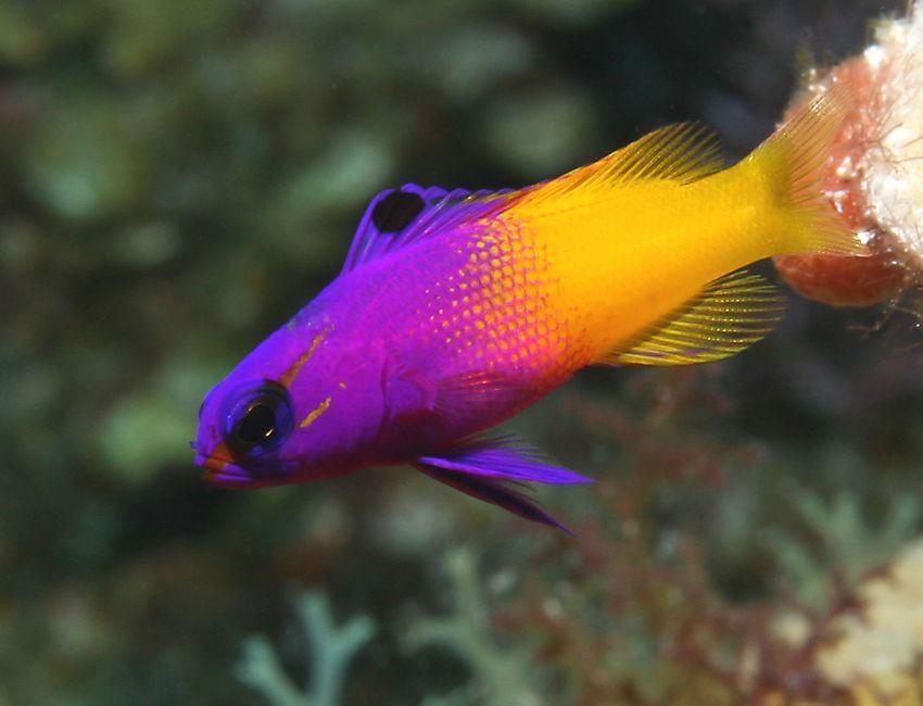 Royal Gramma Basslet Marine Fish Cool Fish Sea Fish