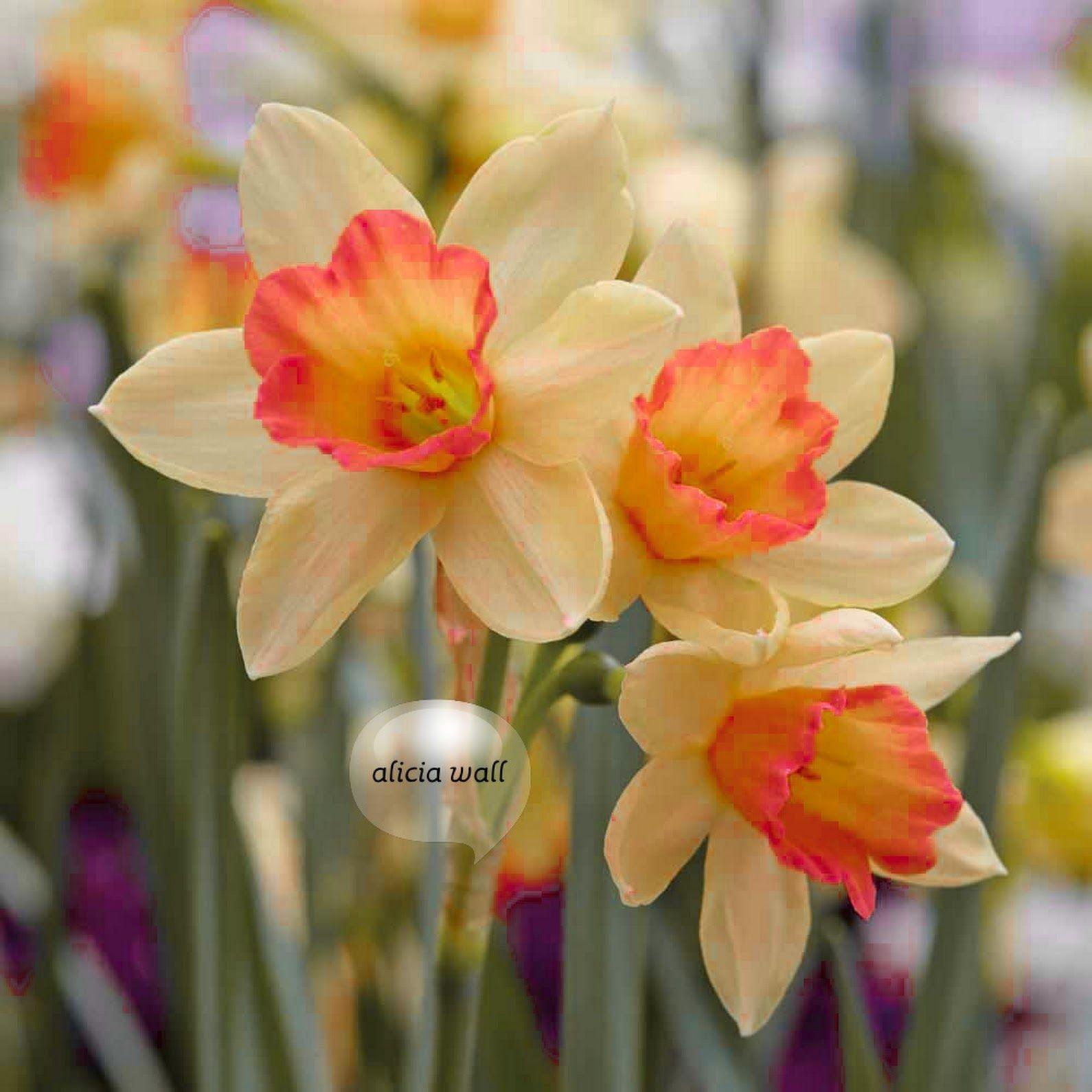 Pin By Grace R On Flowers Daffodil Bulbs Narcissus Flower Daffodil Flower