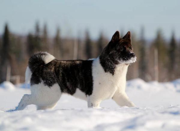 Galerie American Akita Im Winter 1 American Akita Dog American Akita Akita Dog