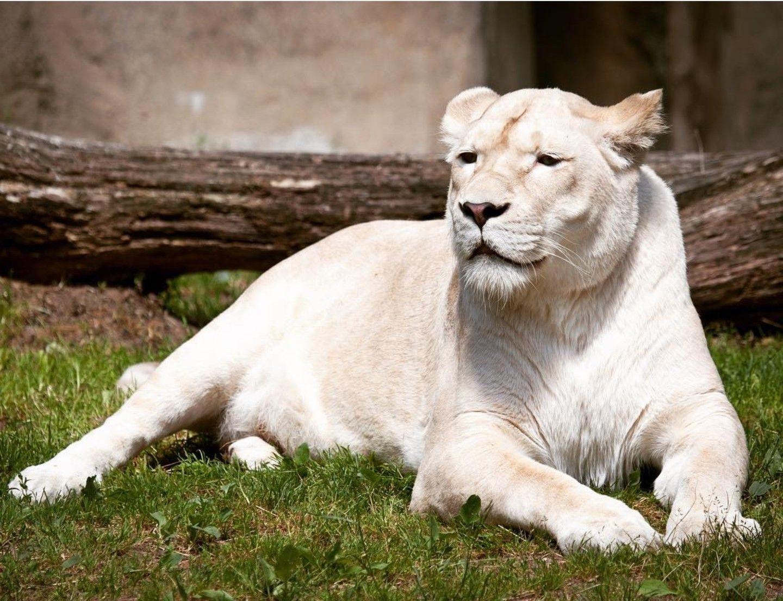 Pin By روائع الصور On الاسود الضواري White Lion Lion Background Lion
