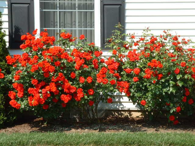 Shrub Rose Variety Easy To Grow Roses Bloom All Summer Off And On No Fussing