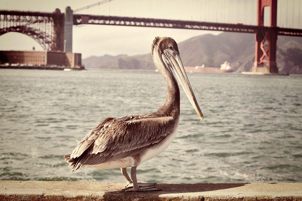 Pelican Tourist Travel photos, Tourist, Photo
