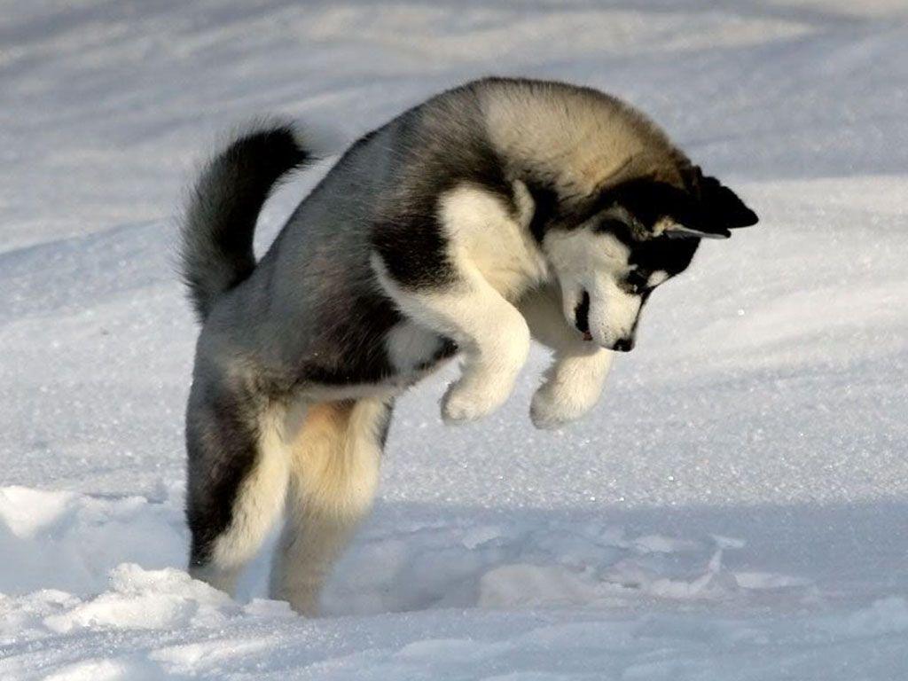 Siberian Husky Siberian Husky Dog Dog Personality Siberian