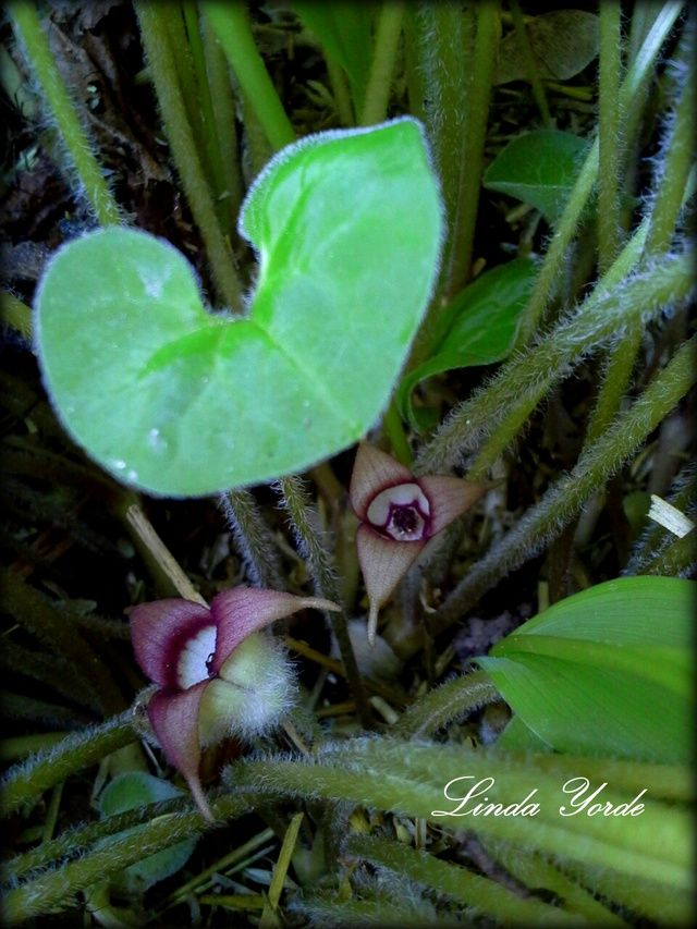 Wild Ginger Asarum Canadense At First Glance Wild Ginger Is Just A Lovely Ground Cover But Under T Wild Ginger Plant Wild Ginger Woodland Plants