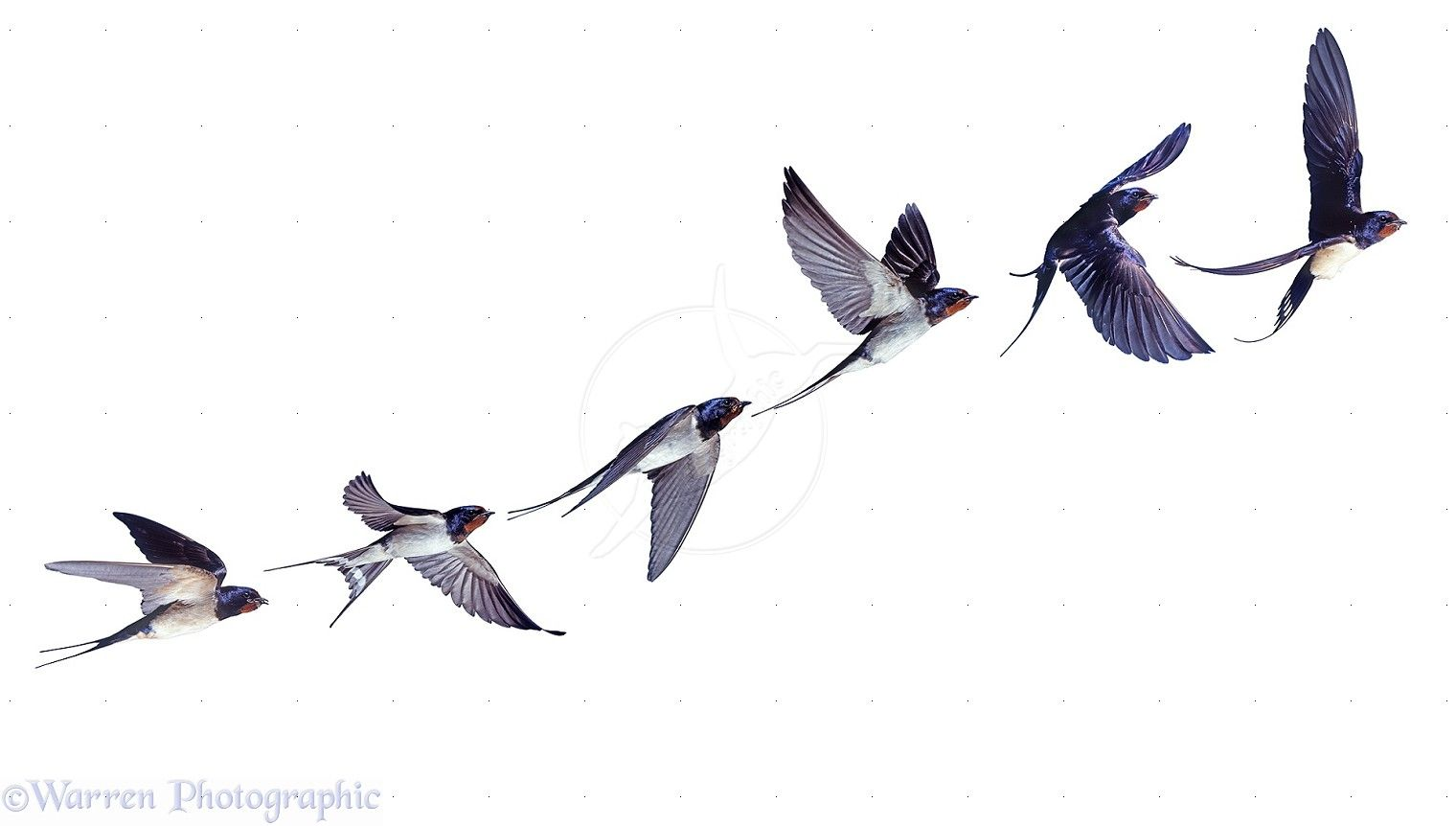 swallow birds in flight