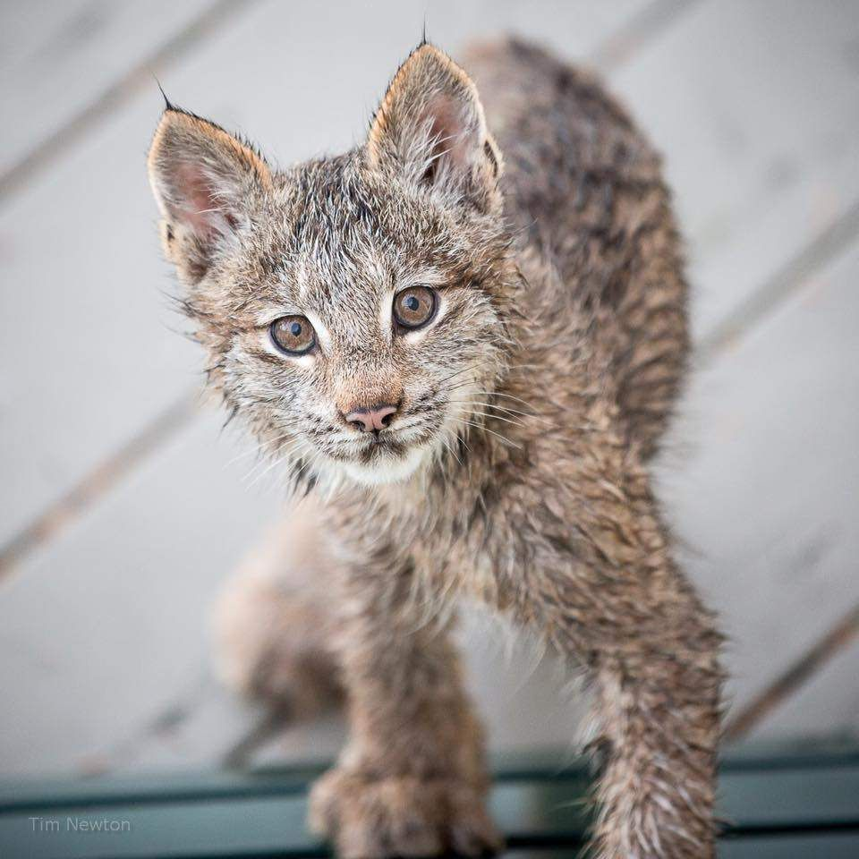 Man Wakes Up To Find Entire Family Playing On His Porch Lynx Kitten Wild Cats Cats And Kittens