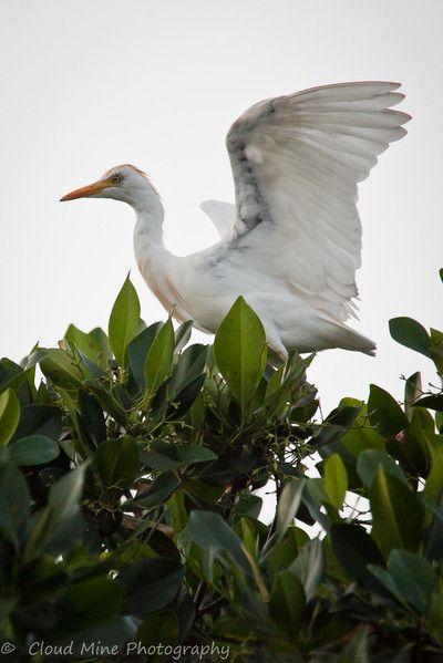 Westen reef heron, saloum delta