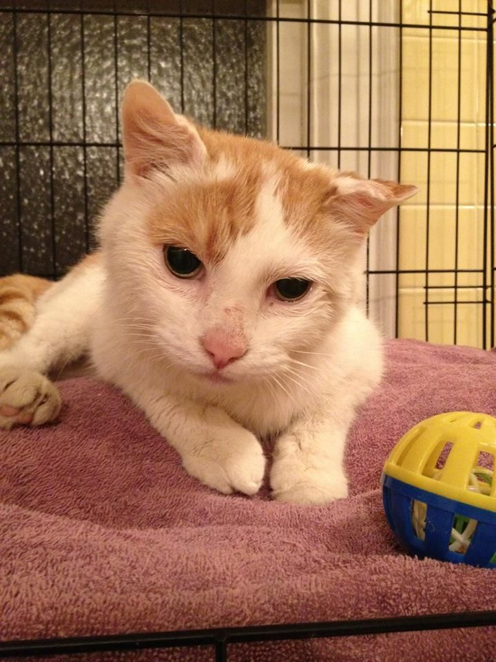 Help Mark, a cat saved in NYC by Anjellicle Cats Rescue