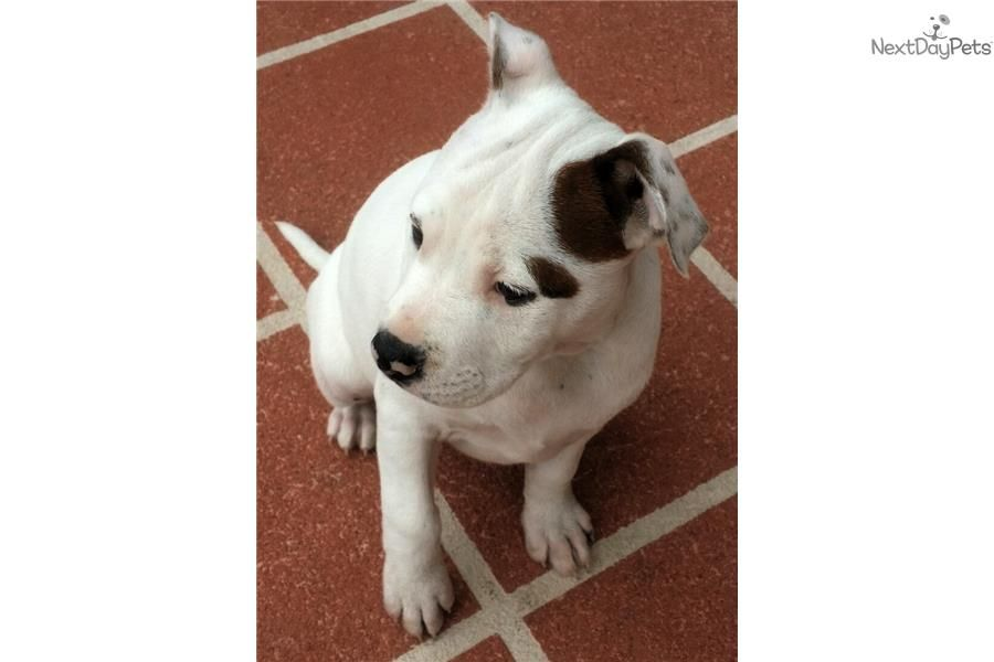 American Staffordshire Terrier Puppy For Sale Near Ft Myers Sw