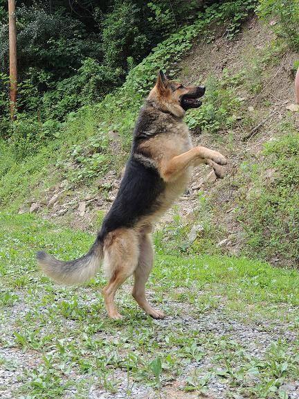 Diesel Is A Big Boy He S Our Akc Black Tan German Shepherd