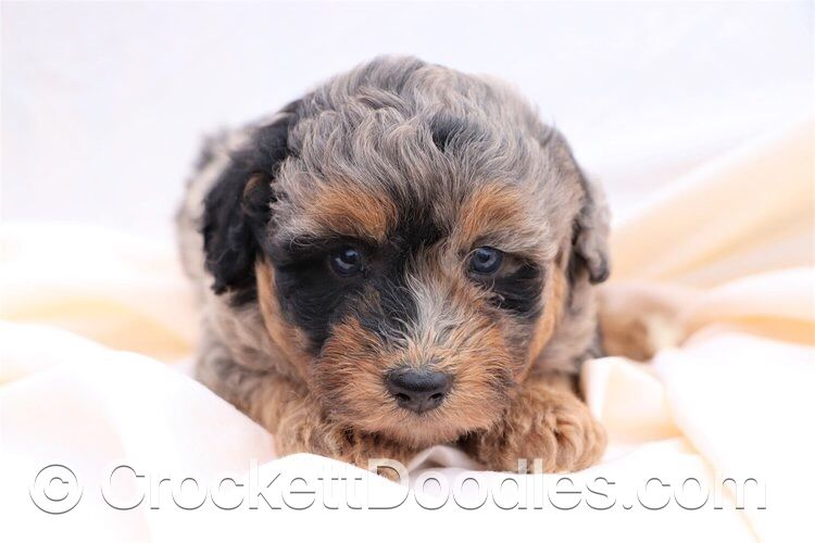 Beautiful aussiedoodle puppies puppies for sale