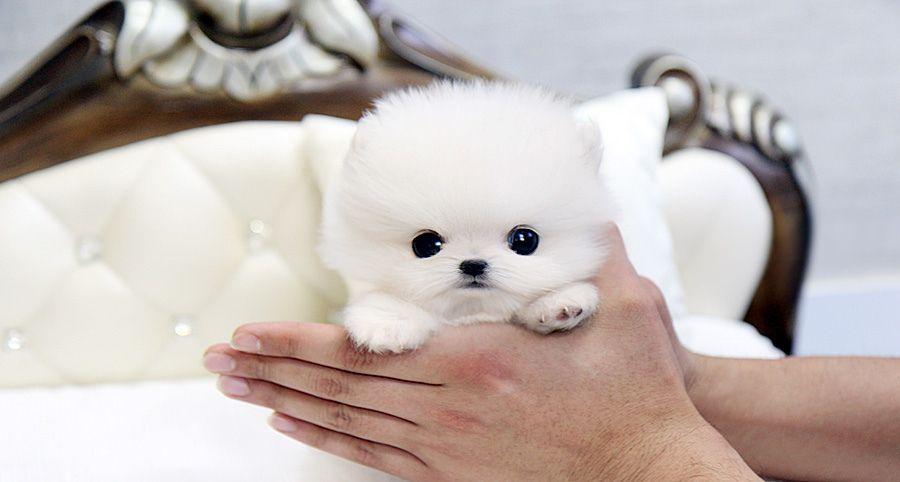Teacup Pomeranian Beautiful Teacup Pomeranian Puppy In 2020 Pomeranian Puppy Teacup Pomeranian Puppy Teacup Puppies
