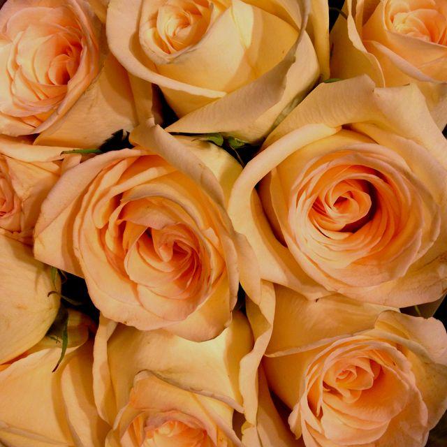 Pale peach roses