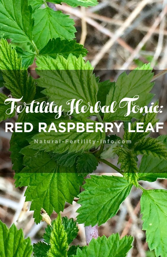 Fertility Herbal Tonic: Red Raspberry Leaf | you | Raspberry