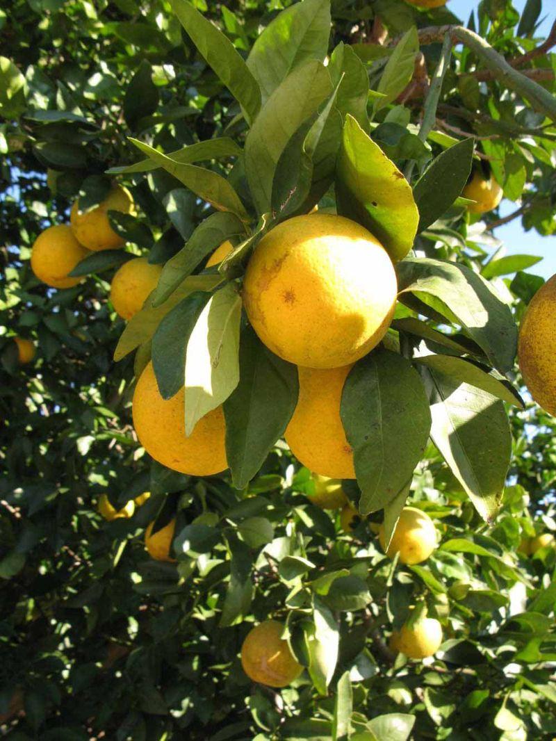 Pin On Abc S Of Rutaceae Citrus