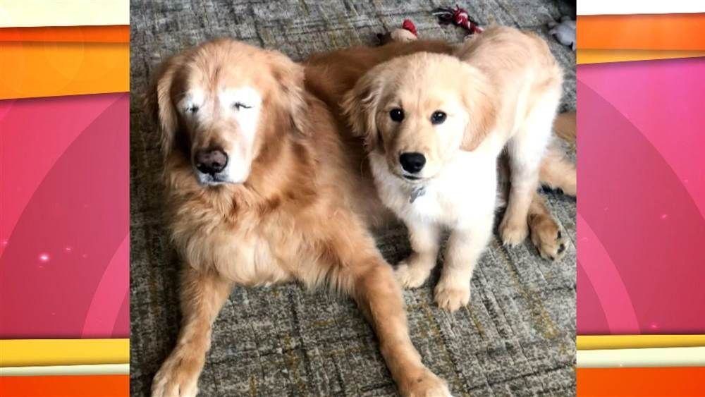 Blind Golden Retriever Has Seeing Eye Puppy To Help Him Out