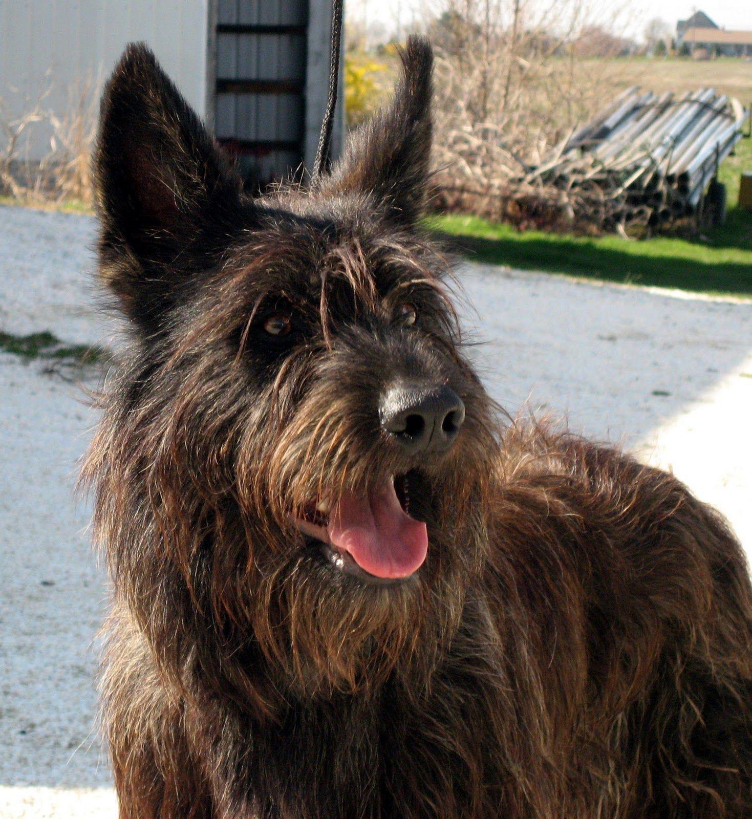 Berger Picard Dog Breed Pictures Reinrassige hunde