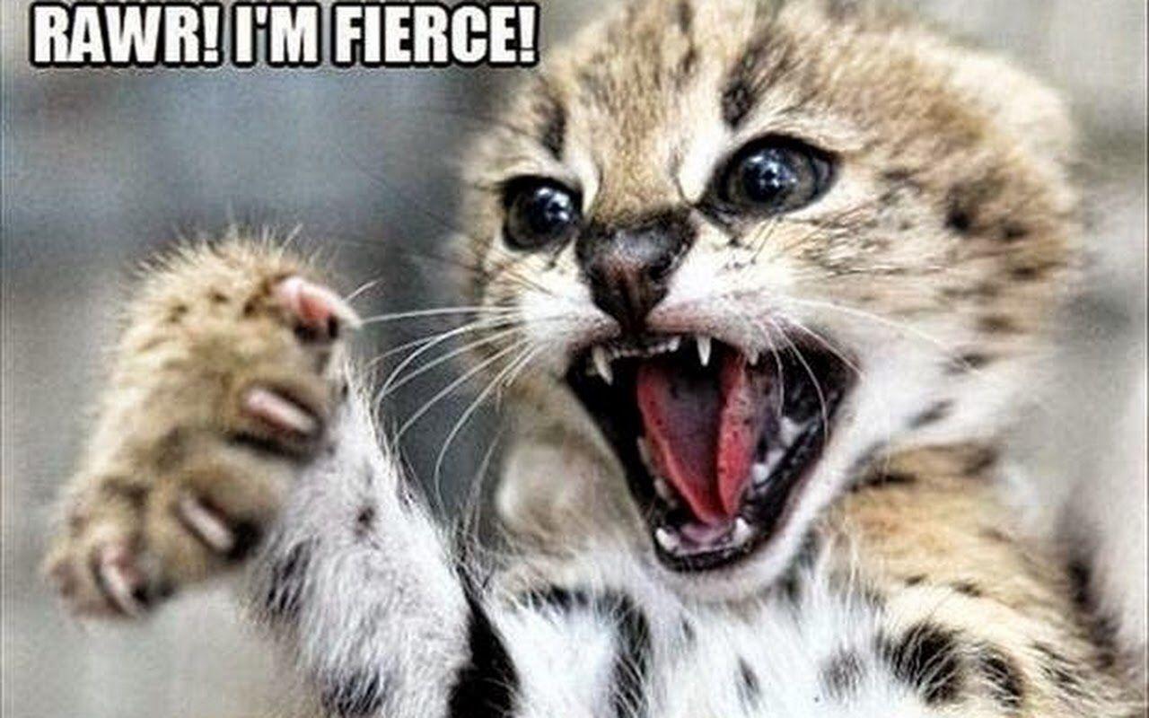 Rawr I M Fierce Serval Kitten Kittens And Puppies Wild Cats