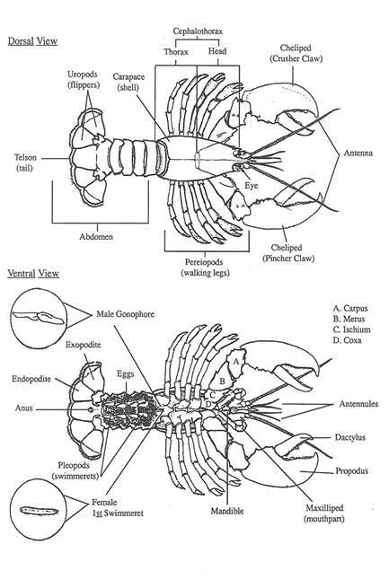fig  10  diagrams of the dorsal  top surface  and ventral  underneath side  views of lobster