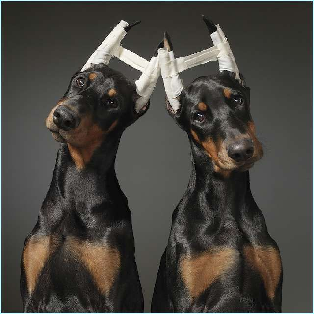 2 Dobermans who probably just got their ears docked I'm guessing. Aren't  they beautiful though ? W/o the bizarre… | Doberman puppy, Doberman dogs,  Doberman pinscher