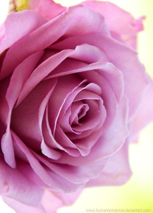 ~~pink rose by humannotdancer~~