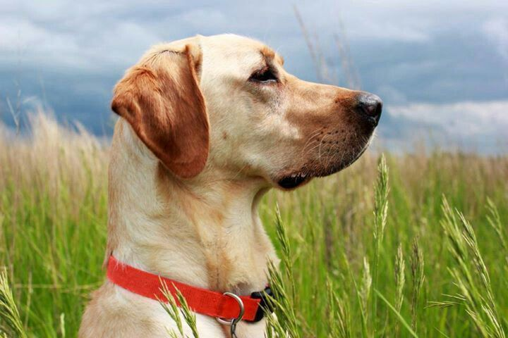Awesome photo vizsla dogs animals cute dogs