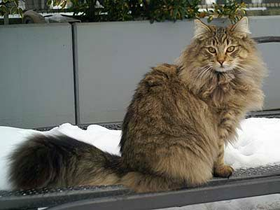 Nwk Couleur Norwegian Forest Cat Norwegian Forest Forest Cat
