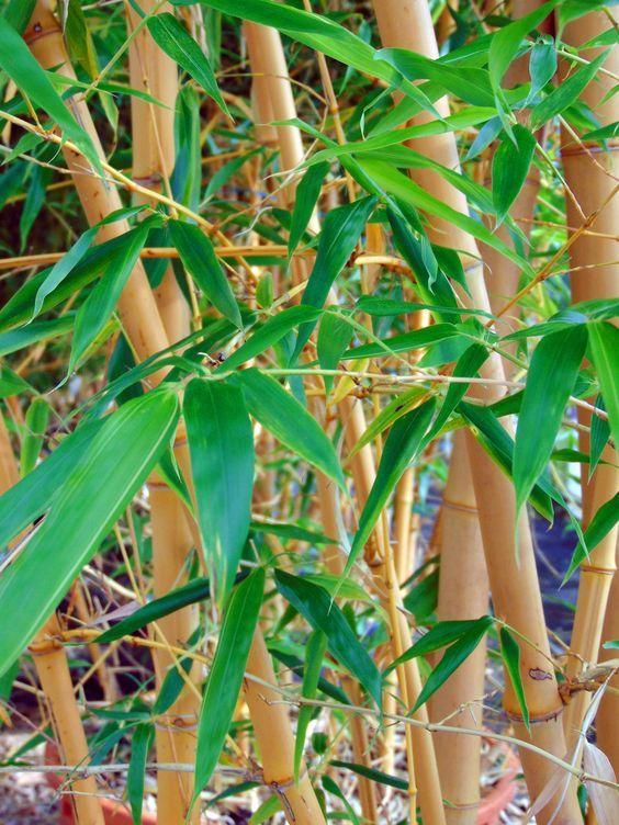 faut il planter du bambou dans son jardin bricolage jardins jardinage et plante jardin. Black Bedroom Furniture Sets. Home Design Ideas