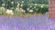 Lavendula augustiflora Hidcote, Japans bloedgras en miscantus sinensis flammermeer met ertussen allium