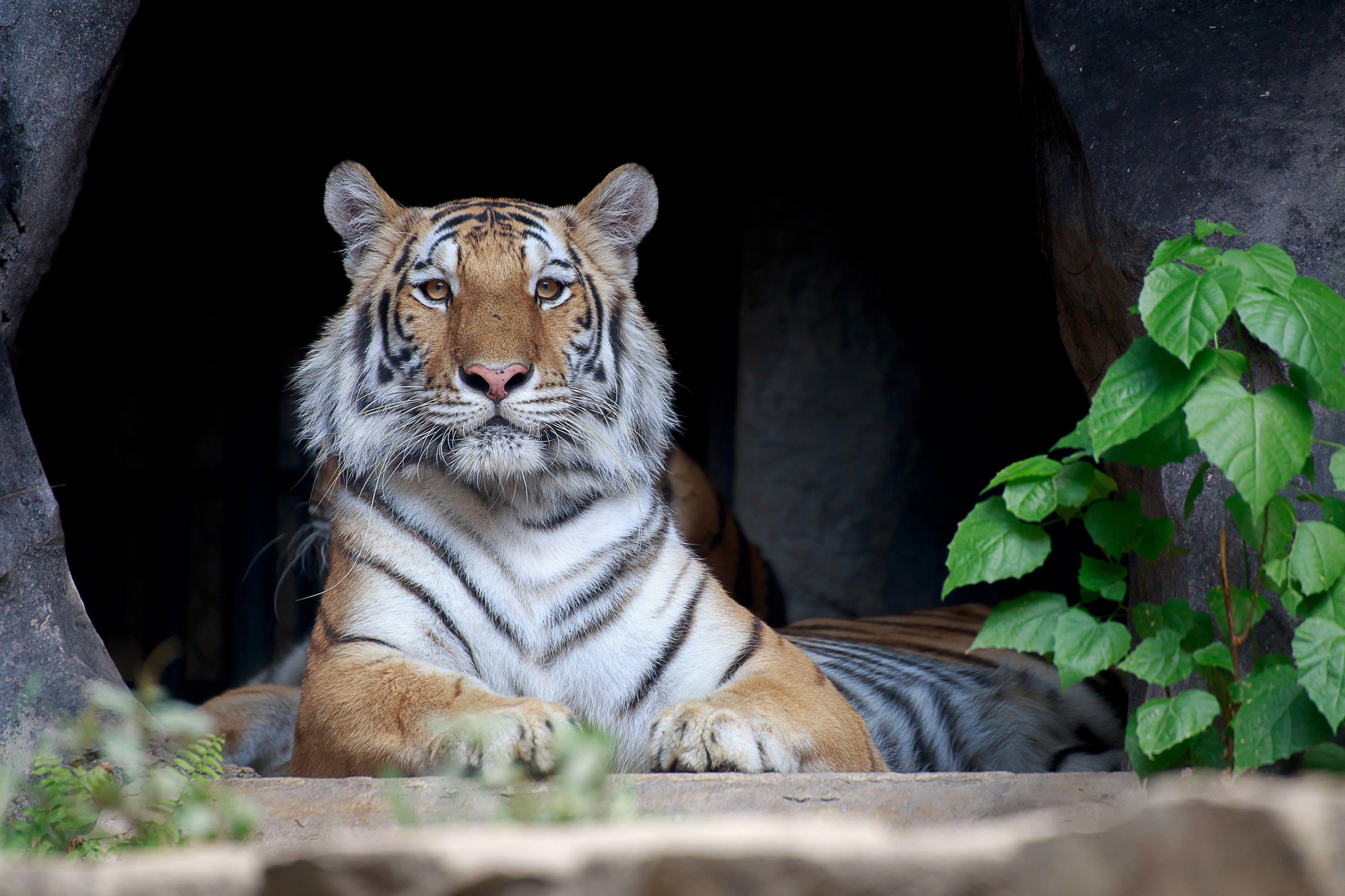 tiger - full hd background   hueputalo   pinterest   tiger wallpaper