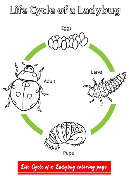 Life Cycle Of A Ladybug 2020 In 2020 Bee Coloring Pages Coloring Pages Animal Coloring Pages