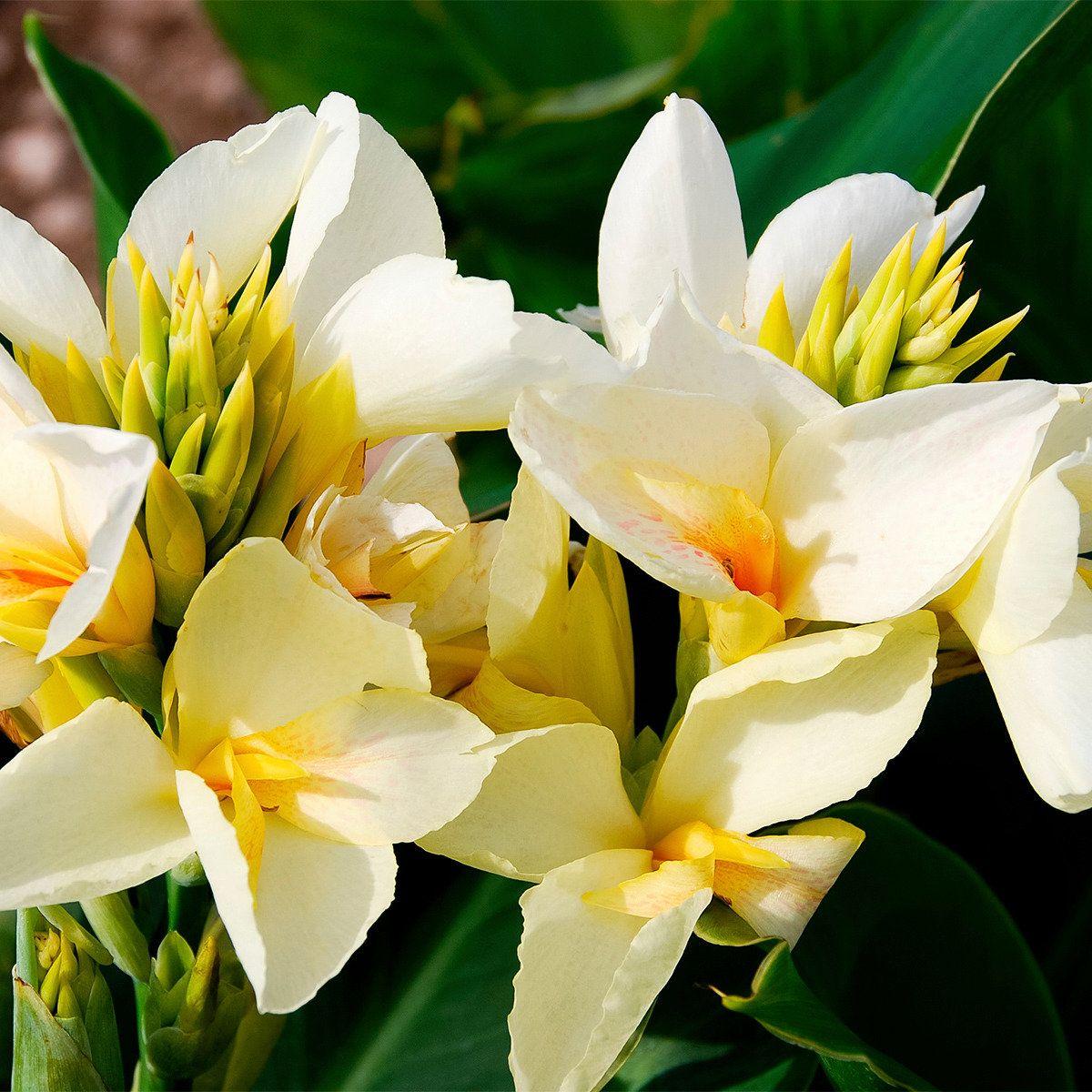 Canna Niagara Indisches Blumenrohr Blumenrohr Indisches Blumenrohr Blumen