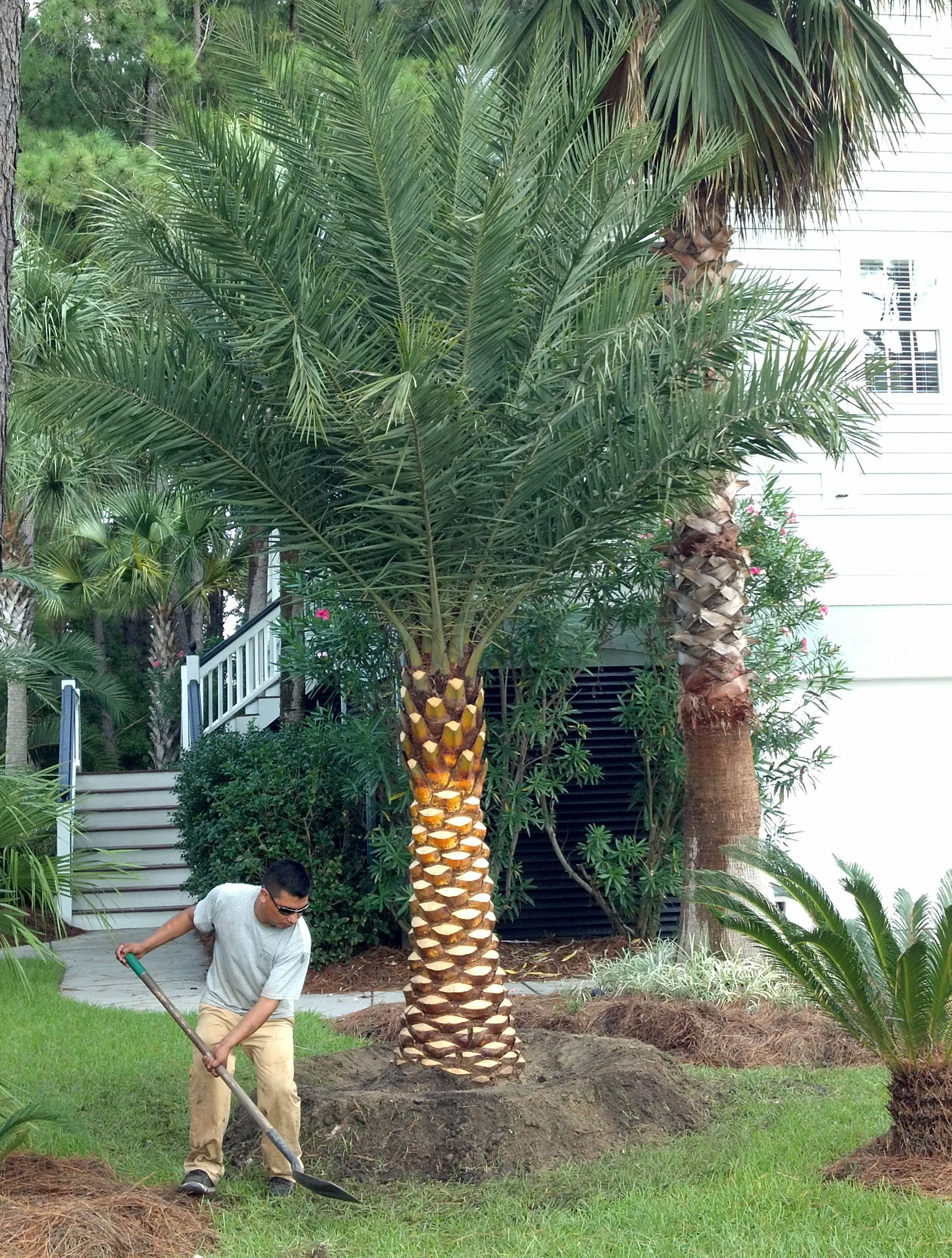 phoenix sylvestris prune trunk - Google Search | Palms | Pinterest ...