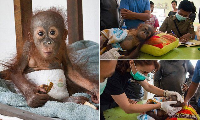 The tiny 18-month-old ape, named Didik, was left severely traumatised and injured after witnessing the death of his mother in Borneo, Malaysia.