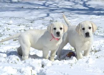 Our Current Litter Of White Labrador And Red Labrador Retrievers For Adoption Sale In The Dallas Fo Labrador Puppies For Sale Labrador Puppy Labrador Retriever