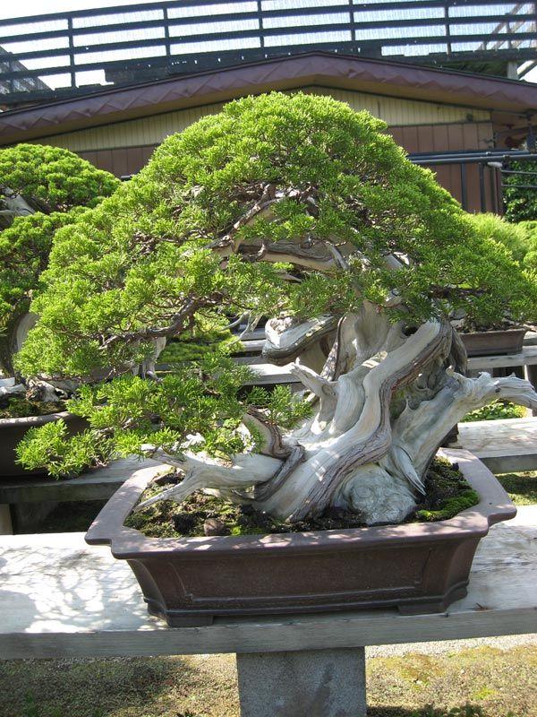 Kimura Planting Flowers Bonsai Styles Bonsai Tree
