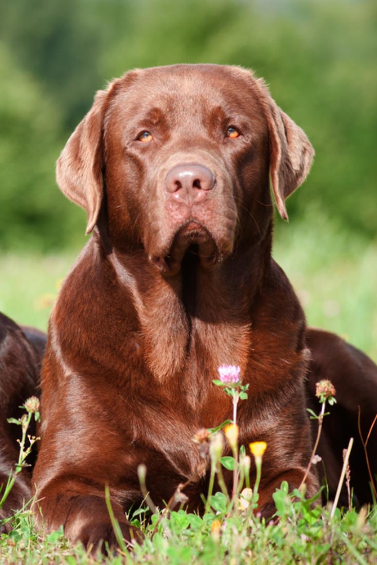 Two Brown Labrador Retriever Dogs Labradorretriever Golden Retriever Labrador Labrador Labrador Retriever