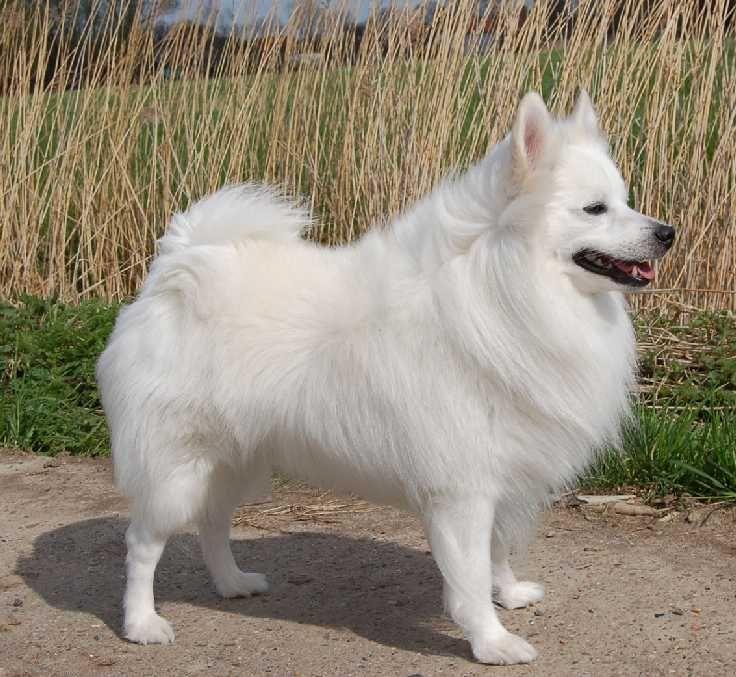 The German Spitz German Spitz Spitz Dogs Dog Breeds