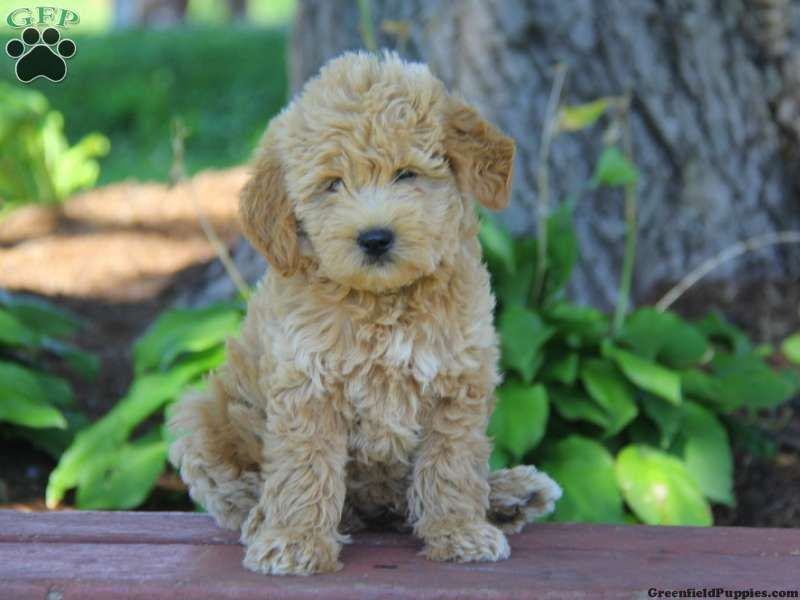 Benji Mini Goldendoodle Puppy For Sale In Atglen Pa Products I