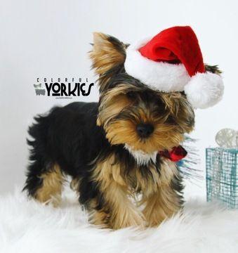 Yorkshire Terrier Puppy For Sale In Roanoke Tx Adn 55058 On