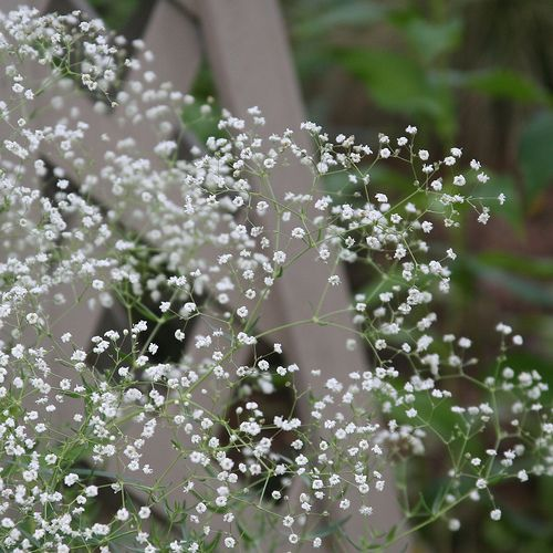 Baby S Breathe Babys Breath Flowers Flowers Language Of Flowers