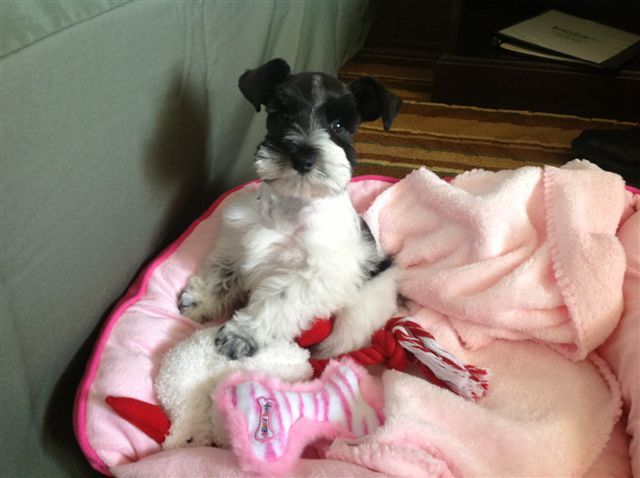 Schnoodle Puppies For Sale From Schnoodle Breeders In Raleigh Nc
