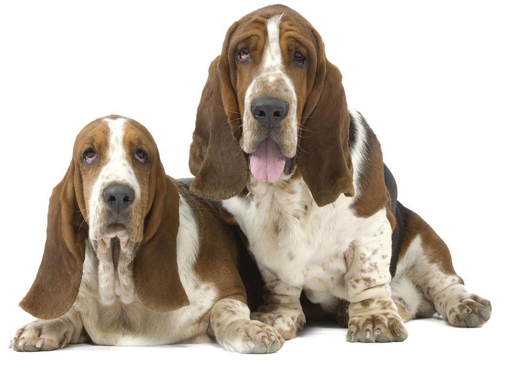Hound Dogs Wrinkly Dog Basset Hound Dog Wallpaper