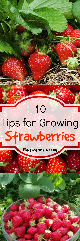 10 Tips for Growing Strawberries | growing strawberries ...