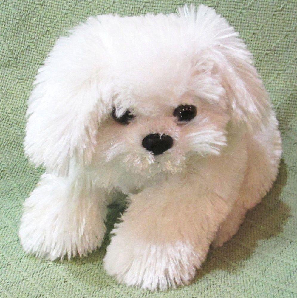 White shih tzu dogs